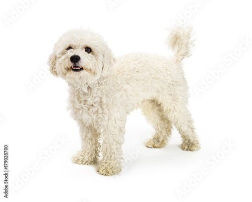Fototapeta Cute Happy Bichon Crossbreed Dog