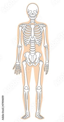 Fotomural 骨格模型 人体 医療