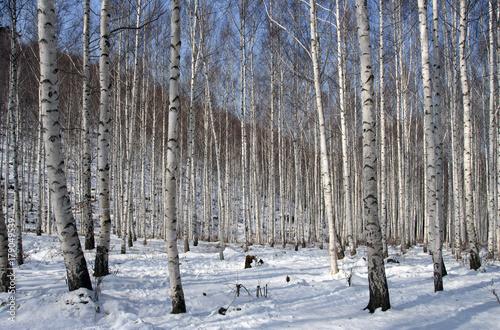 Fotografía  자작나무 숲의 겨울, 인재, 대한민국