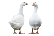 Two Geese Isolated