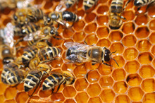 Big Drone Bee In Honeycomb. Dr...