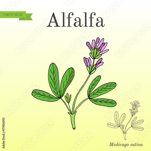 Photo Alfalfa Medicago sativa .