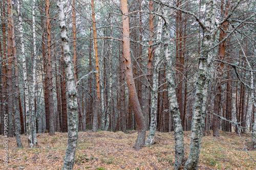 Abedules y Pinos silvestres. Betula pubescens, alba. Pinus sylvestris.  © LFRabanedo