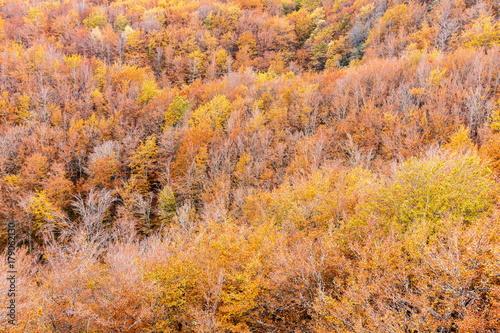 Bosque de hayas en otoño. Hayedo Monte Brición. Fagus sylvatica. Cármenes, León, España.  © LFRabanedo