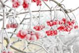 Winter Frozen Viburnum Under Snow. Viburnum In The Snow. First snow. Autumn and snow. Beautiful winter. - 179100955