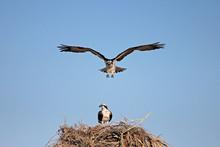 Osprey, Pandion Haliaetus Bird, Baja California Mexico America