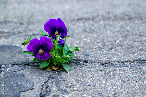 Papiers peints Pansies Pansy flower blooming in a small crack of a road.