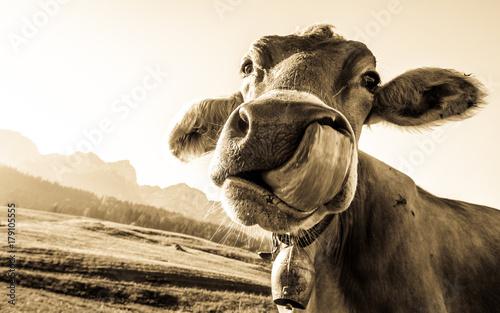 Naklejki krowa  funny-cow