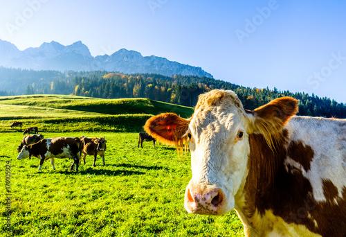 Aluminium Prints Autumn funny cow