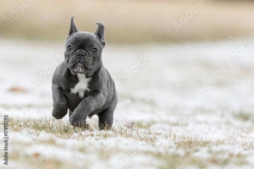 Deurstickers Franse bulldog French Bulldog Photos