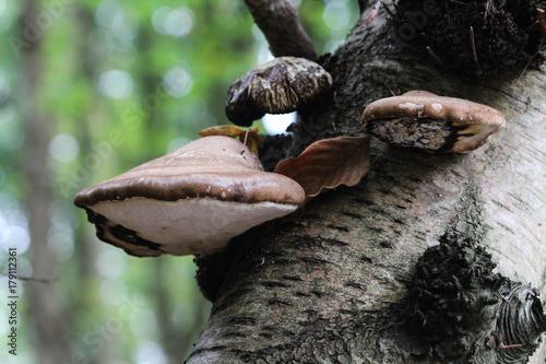 birch polypore (Piptoporus betulinus) Fototapeta