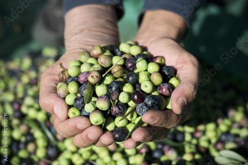Tuinposter Olijfboom harvesting olives in Spain