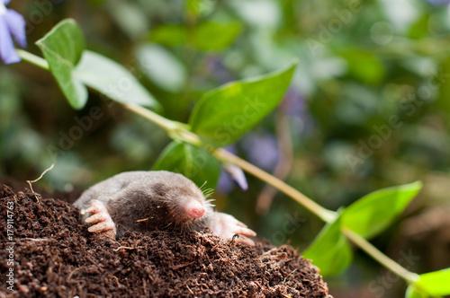 Papel de parede Digging mole out of hole