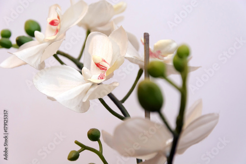 white-orchid-isolated