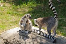 Madagascaran  Ring-tailed Lemu...