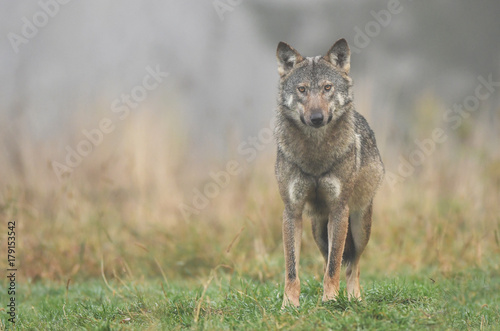 Tuinposter Wolf Gray wolf (Canis lupus)