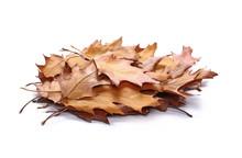 Acorn Leaves, Pile Isolated On...