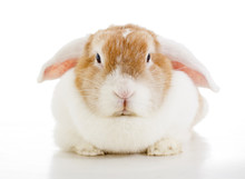 Easter Bunny Rabbit Lop Photo....