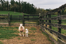 Mother Sheep With Her Baby Lam...