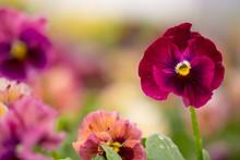 Colorful Violas