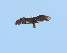 A Bald Eagle Soars Through The...