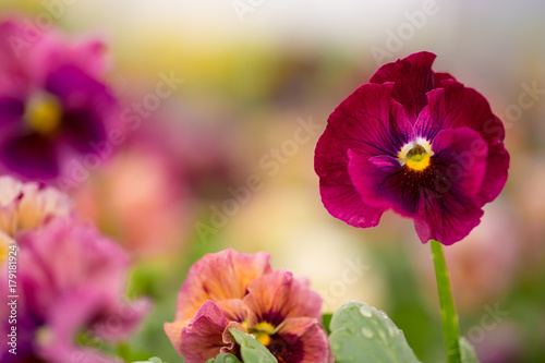 Colorful Violas
