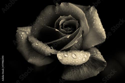 Rose with raindrops inn monochrome