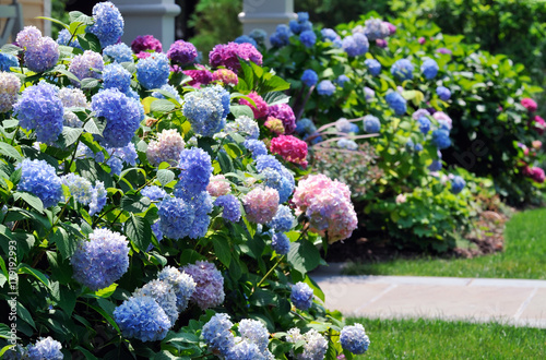 Hydrangeas Flowers In Blue, Pink And Purple Blooming In The Garden