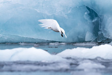 An Ivory Gull
