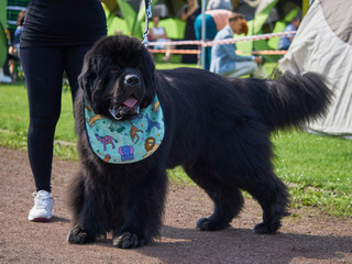 Duży czarny pies ze śmiesznym śliniaczkiem.