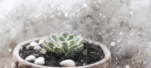 Artwork In Retro Style,  Succulent Plant,  Christmas Decoration, Snow