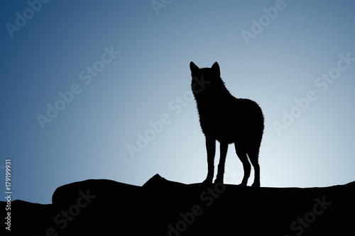 Wolf on a moonset