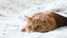 Cute Ginger Cat Lying In Bed. ...