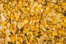 Ginkgo Leaves Falling In Autumn