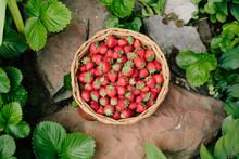 Basket Of Fresh Strawberries I...