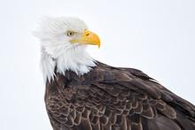 Bald Eagle Head Portrait With ...