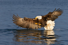 Bald Eagle Fishing With Wings ...