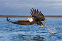 Bald Eagle Catching Fish With ...