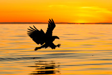 Silhouette Bald Eagle Trying T...