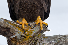 Close Up Of Bald Eagle Talons ...