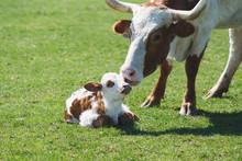 A Cow Licks Her Newborn Calf