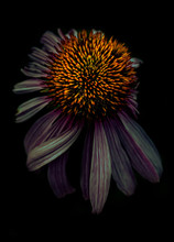 Echinacea Bloom At Night