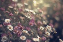 Many Tiny Pink And White Daisy...
