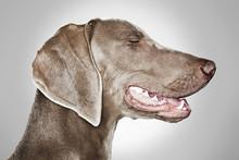 A Portrait Of A Weimaraner Dog