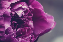 Macro Of Purple Peony Bloom