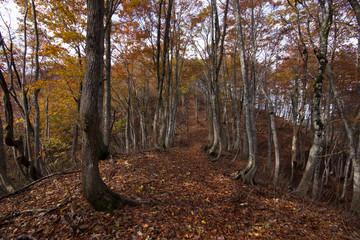 落ち葉が広がるブナの森のハイキングルート、横