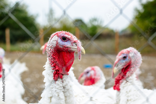 Turkeys from behind a metal fence on the farm