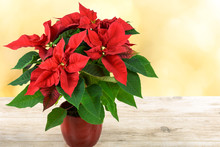 Red Christmas Poinsettia Flower Stand On A Wooden Table And On The Background Of Yellow Blurred Lights..