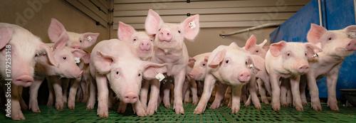 Lustige Ferkelgruppe im modernen Schweinestall,Banner