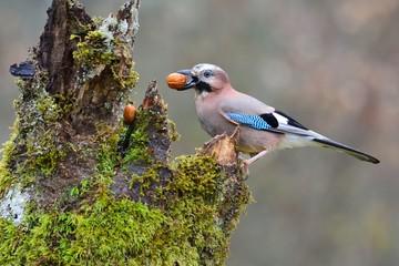 Eurasian jay with a nut in the beak.